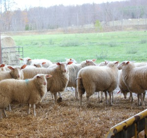 Ontario East Friesian Dairy Sheep