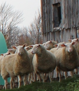 East Friesian ewes