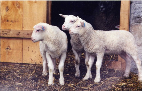 Ontario East Friesian lamb